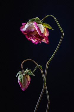 Magdalena Wasiczek A pair of withered pink roses Flowers