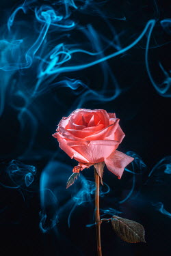 Magdalena Wasiczek close up of pink rose with smoke Flowers