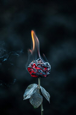 Magdalena Russocka BURNING RED ROSE OUTDOORS Flowers/Plants