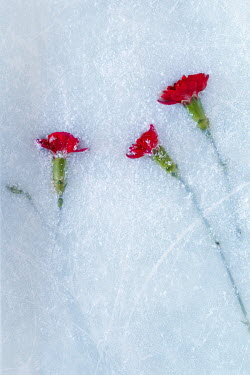 Magdalena Wasiczek red flowers in ice