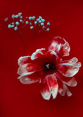 Magdalena Wasiczek tulip and blood