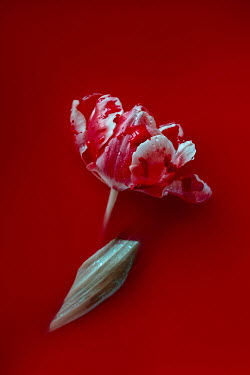 Magdalena Wasiczek tulip and blood
