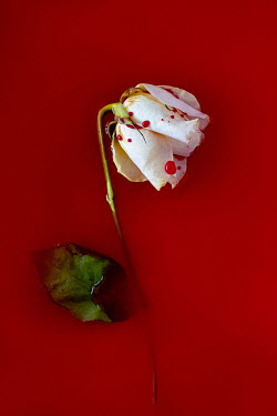 Magdalena Wasiczek white rose and blood
