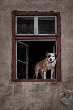 Jaroslaw Blaminsky DOG STANDING IN WINDOW STARING AT CAMERA Animals