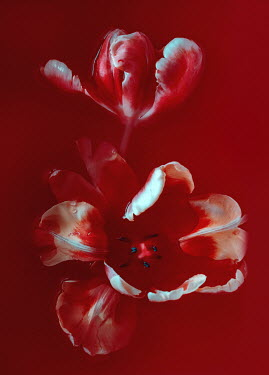 Magdalena Wasiczek tulips and blood
