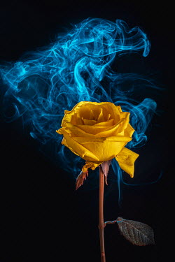 Magdalena Wasiczek close up of yellow rose with smoke