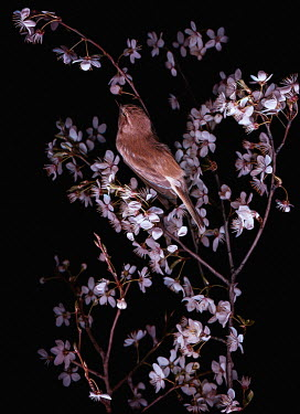 Magdalena Wasiczek close up of  small bird and cherry blossom