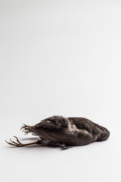 Paolo Martinez Dead bird on white background