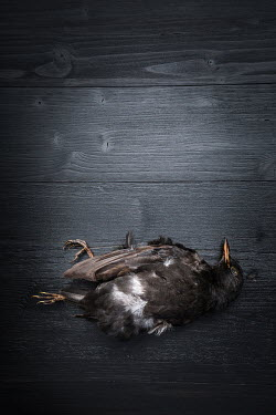 Paolo Martinez Dead bird on wooden floor