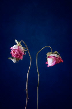 Magdalena Wasiczek two withered roses Flowers
