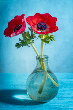 Magdalena Wasiczek Two red anemone flowers in glass vase Flowers