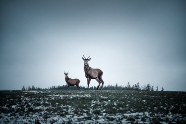Evelina Kremsdorf A PAIR OF DEER IN WINTRY LANDSCAPE Animals