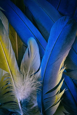 Galya Ivanova CLOSE UP OF BLUE AND YELLOW FEATHERS Miscellaneous Objects