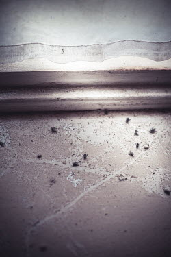 Marie Carr DEAD FLIES LYING BY SHABBY WINDOW Insects