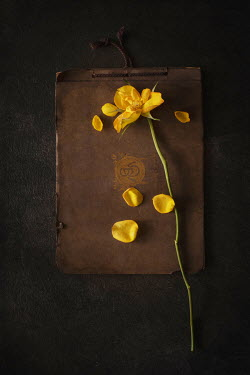 Magdalena Wasiczek yellow rose with scattered petals on old book Flowers