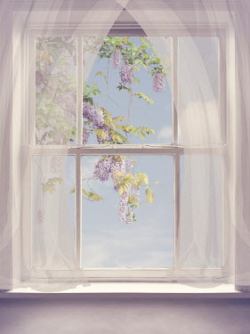 Victoria Davies Purple flowers on branch behind window with sheer curtain