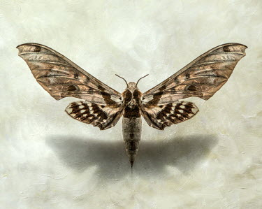 Jaroslaw Blaminsky CLOSE UP OF BROWN MOTH Insects