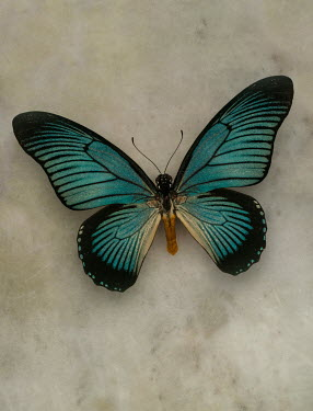 Jaroslaw Blaminsky CLOSE UP OF LARGE TURQUOISE BUTTERFLY Insects