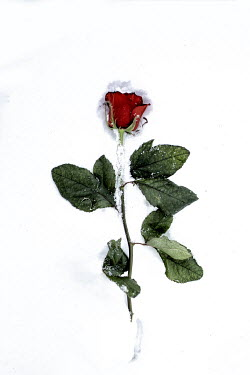 Marko Nadj RED ROSE LYING IN SNOW Flowers