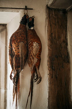 Shelley Richmond BRACE OF PHEASANTS HANGING IN HISTORICAL HOUSE Miscellaneous Objects