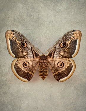 Jaroslaw Blaminsky CLOSE UP OF BROWN PATTERNED MOTH Insects