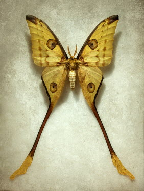 Jaroslaw Blaminsky YELLOW BUTTERFLY WITH LONG TAILS Insects