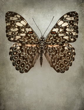 Jaroslaw Blaminsky CLOSE UP OF PATTERNED BROWN BUTTERFLY Insects
