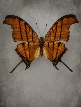 Jaroslaw Blaminsky CLOSE UP OF BROWN EXOTIC BUTTERFLY Insects