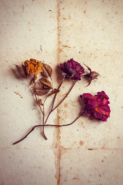 Jane Morley CLOSE UP OF DRIED FLOWERS FROM ABOVE Flowers