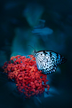 Magdalena Wasiczek CLOSE UP OF BUTTERFLY ON RED FLOWERS Insects