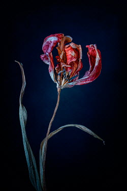 Magdalena Wasiczek close up of withered red tulip Flowers
