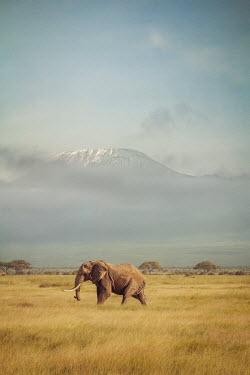 Joanna Czogala ELEPHANT WALKING ON PLAINS WITH MOUNTAINS Animals