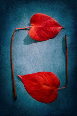 Magdalena Wasiczek Two red  heart-shaped leaves Flowers