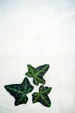 Sally Mundy CLOSE UP OF IVY LEAVES Flowers