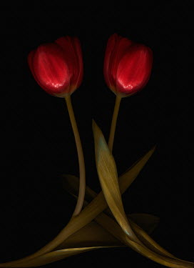 Magdalena Wasiczek close up of two red tulips Flowers