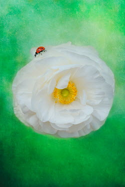 Magdalena Wasiczek CLOSE UP OF LADYBIRD ON WHITE FLOWER Insects