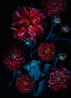 Magdalena Wasiczek close up of red flowers in shadow Flowers