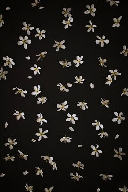 Shelley Richmond CLOSE UP OF SCATTERED BLOSSOM Flowers