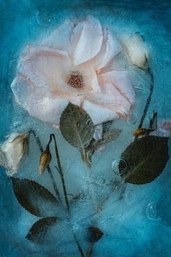Magdalena Wasiczek roses frozen in water Flowers/Plants