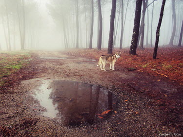 Guillermo Rodriguez Carballa Wolf by puddle on road through forest