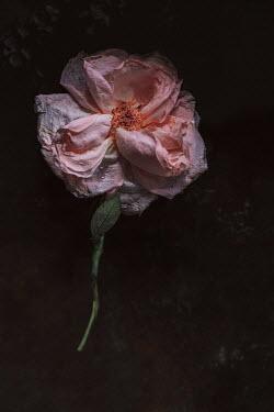Magdalena Wasiczek pink rose floating in water Flowers