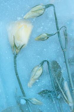 Magdalena Wasiczek close up of frozen white roses Flowers/Plants