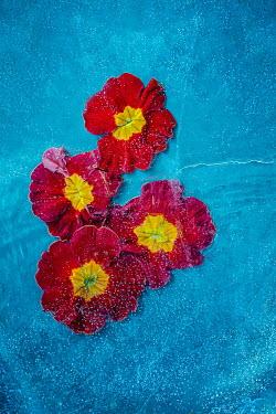 Magdalena Wasiczek red flowers under water Flowers