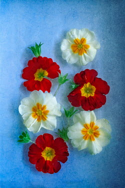 Magdalena Wasiczek RED AND WHITE FLOWERS ON BLUE BACKGROUND Flowers