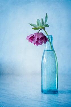 Magdalena Wasiczek hellebore flower in a glass bottle Flowers