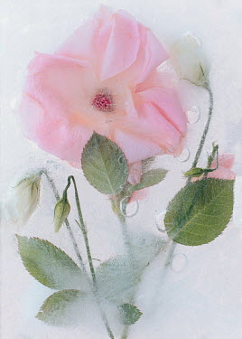 Magdalena Wasiczek pink and white roses frozen in water Flowers/Plants