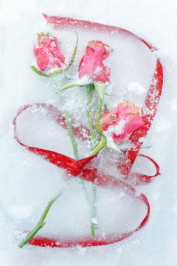 Magdalena Wasiczek close up of roses lying in snow Flowers/Plants
