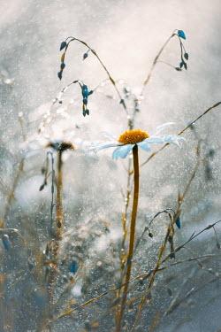 Magdalena Wasiczek close up of daisy in rain Flowers/Plants