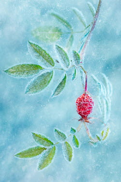 Magdalena Wasiczek CLOSE UP OF ROSEHIP IN FROST Flowers/Plants