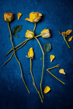 Magdalena Wasiczek CLOSE UP OF SCATTERED YELLOW ROSES Flowers